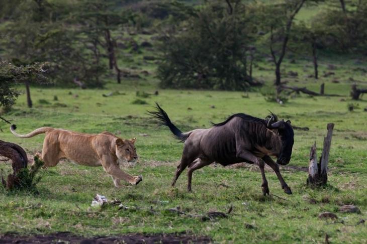 Lion-wildebeest-hunt